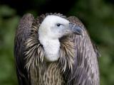 Griffon Vulture (Gyps Fulvus) Poster by Denise Swanson
