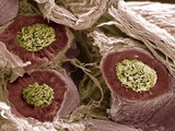 Maturing Sperm, SEM Photographic Print by Steve Gschmeissner