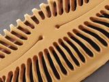 Diatom Frustule, SEM Poster by Steve Gschmeissner