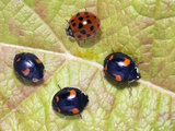 Harlequin Ladybirds Photographic Print by Sheila Terry