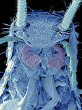 Coloured SEM of a Silverfish (order Thysanura) Premium Photographic Print by Volker Steger