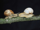 Burgundy Snails Photographic Print by Bjorn Svensson
