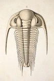 1846 Victorian Trilobite Paradoxides Photographic Print by Paul Stewart