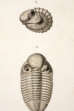 1846 Victorian Trilobite Litho Phacops Photographic Print by Paul Stewart