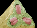 Flower Ovary And Ovules, SEM Prints by Steve Gschmeissner