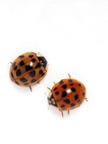 Harlequin Ladybirds Posters by Sheila Terry