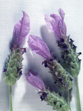 Lavender Flowers Photographic Print by Sheila Terry