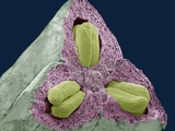 Flower Ovary And Ovules, SEM Posters by Steve Gschmeissner