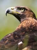 Golden Eagle Fotodruck von Denise Swanson