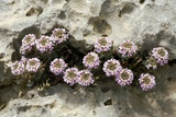 Burnt Candytuft (Aethionema Saxatile) Prints by Bob Gibbons