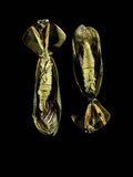 Two Praying Mantises Photographic Print by Volker Steger