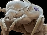 Booklouse, SEM Photographic Print by Steve Gschmeissner