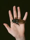 Madagascan Giant Hissing Cockroach Premium Photographic Print by Volker Steger