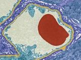 Glomerular Capillary, TEM Photographic Print by Steve Gschmeissner