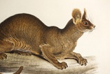 1835 Fossa Crytoprocta by Edward Lear Photographic Print by Paul Stewart