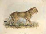 1835 Maneless Indian Lion by Edward Lear Fotografie-Druck von Paul Stewart