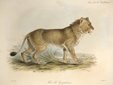 1835 Maneless Indian Lion by Edward Lear Prints by Paul Stewart