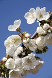 Cherry Blossom (Prunus Sp.) Photographic Print by Bjorn Svensson