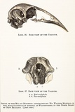 1851 Dinornis Moa Skull Discovery Posters by Paul Stewart