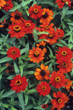 Zinnia 'Profusion Fire' Print by Adrian Thomas