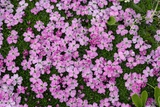 Moss Campion (Silene Acaulis) Photographic Print by Bob Gibbons