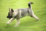 Norwegian Elkhound Puppy Print by Bjorn Svensson