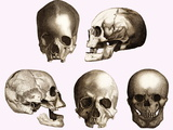 Early Human Skulls Photographic Print by Sheila Terry