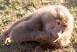 Baby Baboon Photographic Print by Denise Swanson