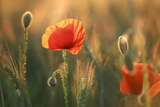 Field Poppy (Papaver Rhoeas) Photographic Print by Bjorn Svensson