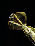 Praying Mantis Print by Volker Steger