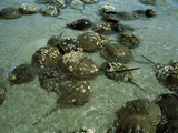 Horseshoe Crab Research Photographic Print by Volker Steger
