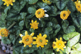 Lesser Celandine Photographic Print by Adrian Thomas
