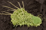 Gastrotrich Freshwater Animal, SEM Photographic Print by Steve Gschmeissner