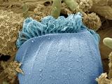 Ciliate Protozoan Membranelles, SEM Photographic Print by Steve Gschmeissner