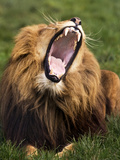 Yawning Male Lion Posters by Denise Swanson