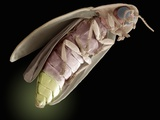 Firefly, SEM Photographic Print by Steve Gschmeissner