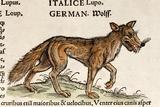1560 Gesner European Wolf Canis Lupus Prints by Paul Stewart