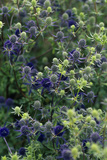 Sea Holly Flower Heads Photographic Print by Duncan Smith