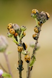 Seven-spot Ladybirds Eating Aphids Prints by Bob Gibbons