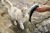 Cat Being Fed a Fish Posters by Bjorn Svensson