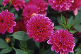 Dahlia Flowers Photographic Print by Duncan Smith