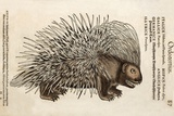 1560 Conrad Gesner Crested Porcupine Photographic Print by Paul Stewart