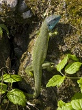 Western Green Lizard Poster par Bob Gibbons