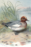 Widgeon, Historical Artwork Photographic Print by Sheila Terry