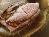 Fruit Fly Mouth, SEM Photographic Print by Steve Gschmeissner