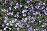 Geranium Asphodeloides Flowers Posters by Adrian Thomas
