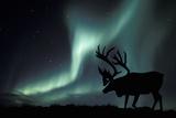 Aurora Borealis And Caribou Fotografisk tryk af Kaj Svensson