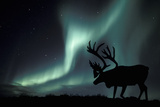 Aurora Borealis And Caribou Photographic Print by Kaj Svensson