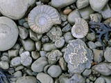 Fossilised Ammonite Shell Among Pebbles Photographic Print by Sinclair Stammers