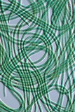 Oscillatoria Cyanobacteria, DIC Image Posters by Sinclair Stammers
